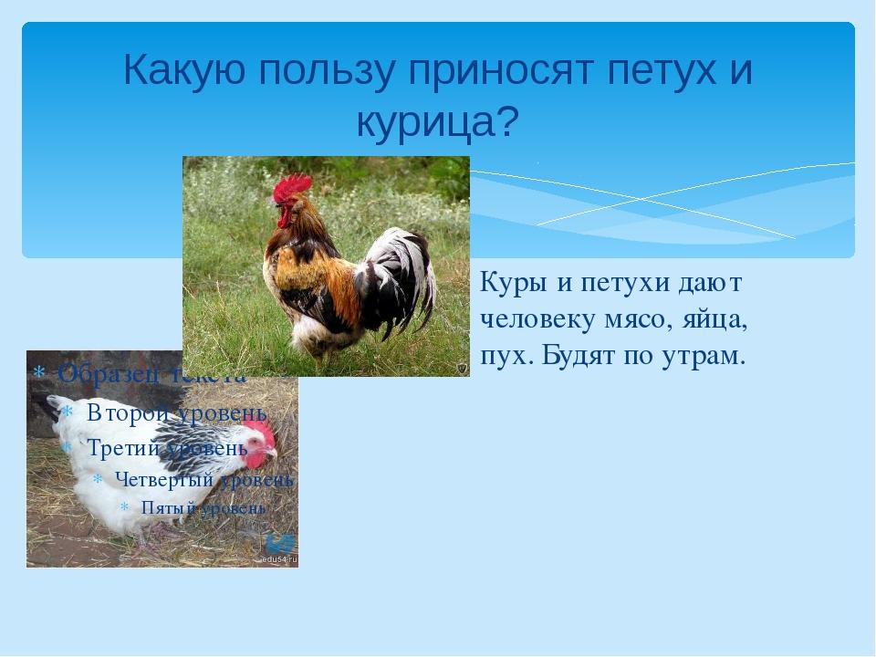 Какую пользу приносят петух и курица? Куры и петухи дают человеку мясо, яйца,...