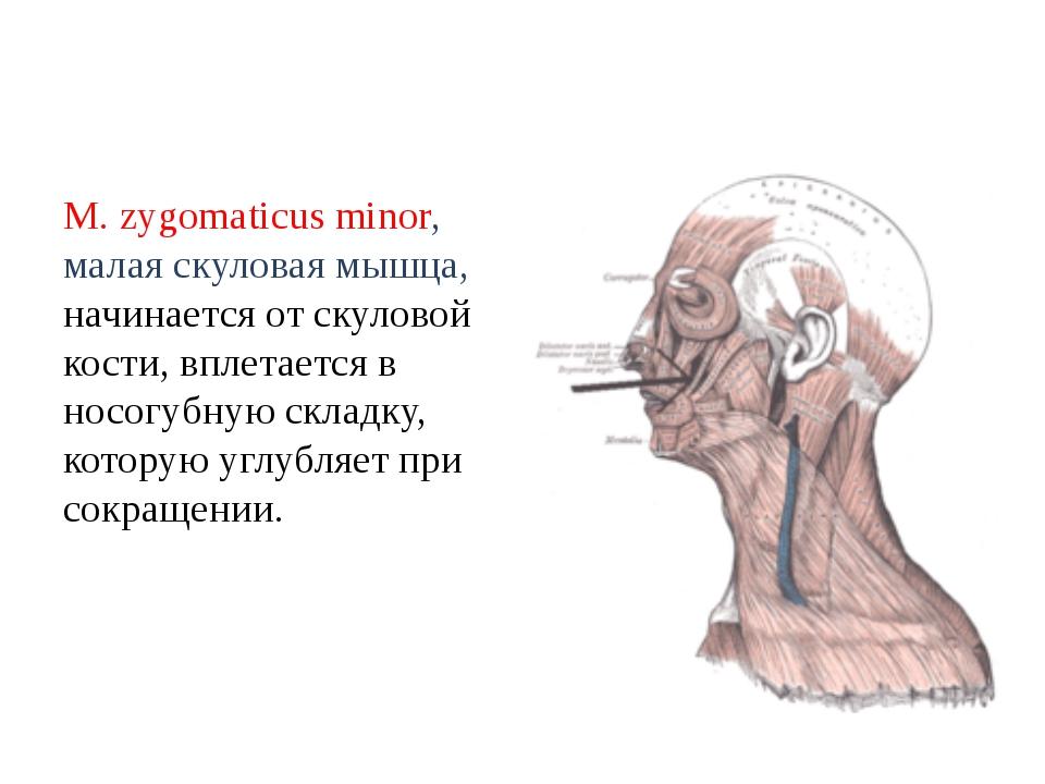 М. zygomaticus minor, малая скуловая мышца, начинается от скуловой кости, впл...