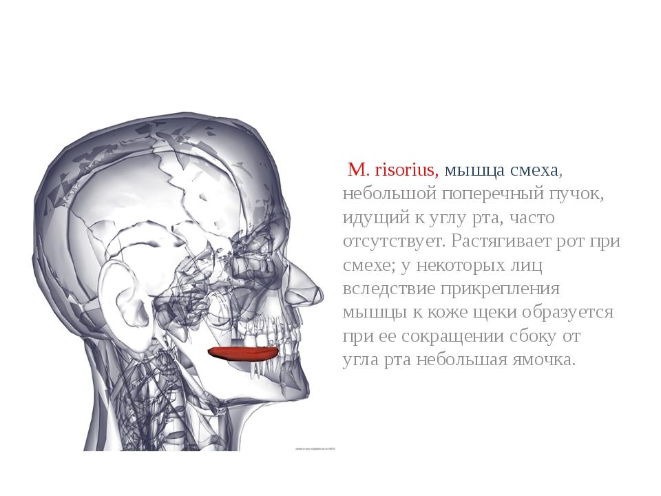 М. risorius, мышца смеха, небольшой поперечный пучок, идущий к углу рта, час...