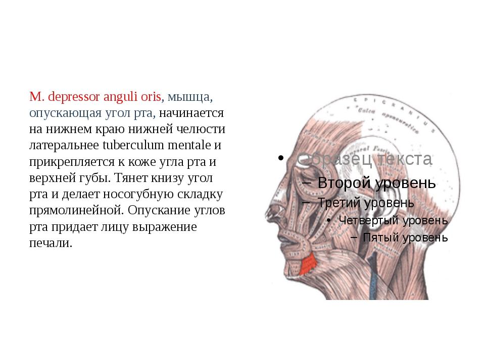 M. depressor anguli oris, мышца, опускающая угол рта, начинается на нижнем кр...