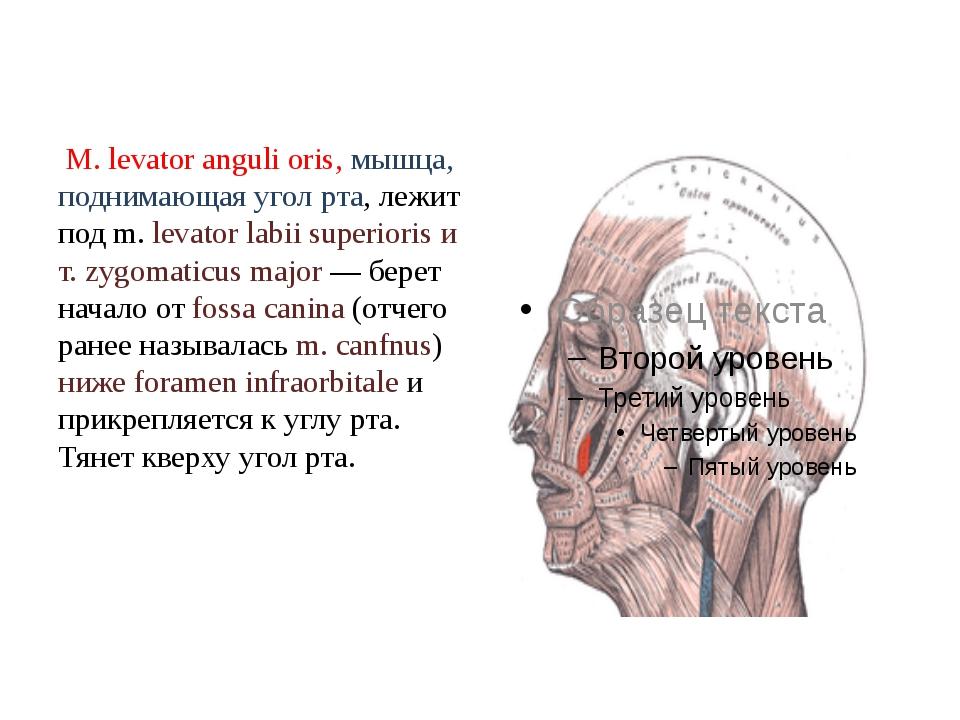 М. levator anguli oris, мышца, поднимающая угол рта, лежит под m. levator la...