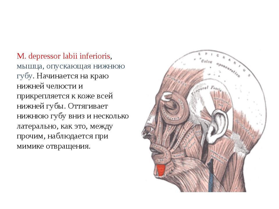 М. depressor labii inferioris, мышца, опускающая нижнюю губу. Начинается на к...