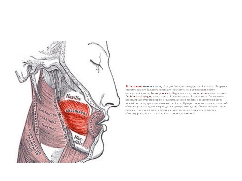 М. buccinator, щечная мышца, образует боковую стенку ротовой полости. На уро...