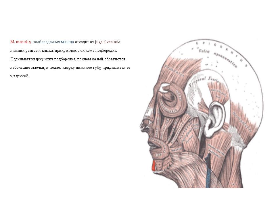 М. mentalis, подбородочная мышца отходит от juga alveolaria нижних резцов и к...