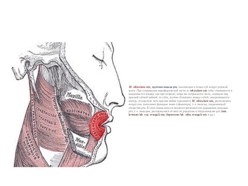 М. orbicularis oris, круговая мышца рта, залегающая в толще губ вокруг ротов...