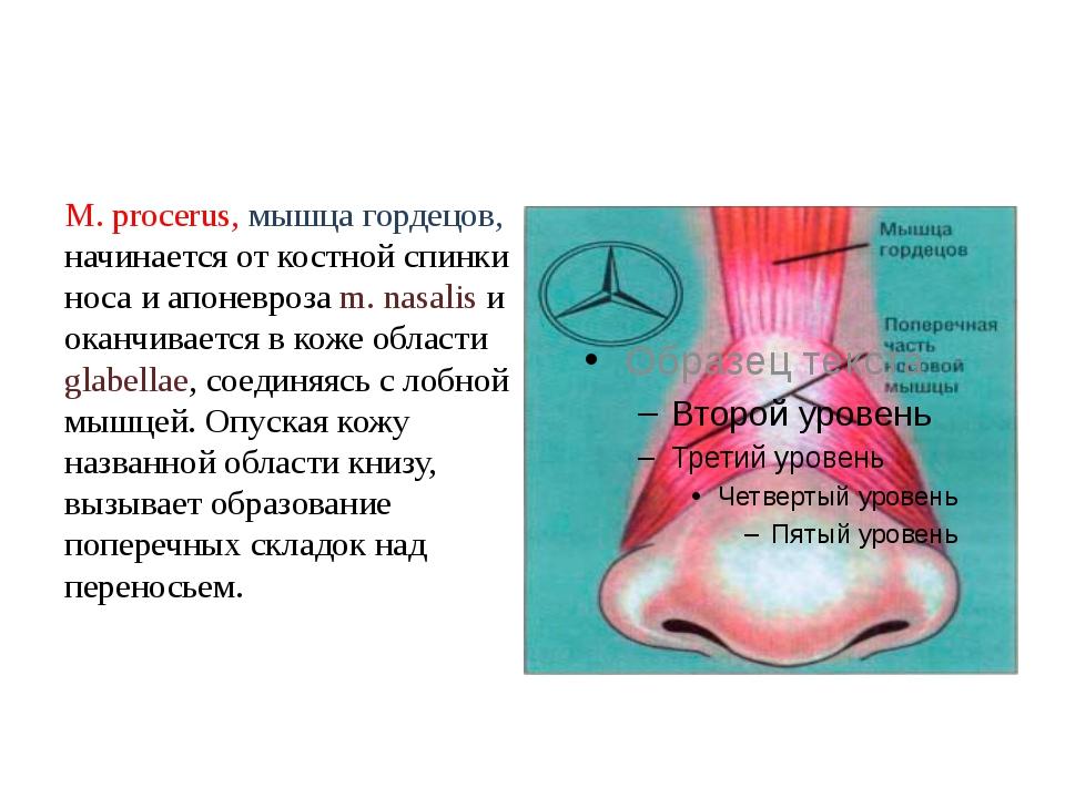 М. procerus, мышца гордецов, начинается от костной спинки носа и апоневроза m...