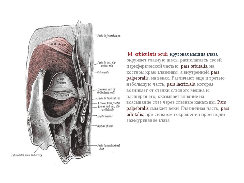 М. orbicularis oculi, круговая мышца глаза, окружает глазную щель, располага...