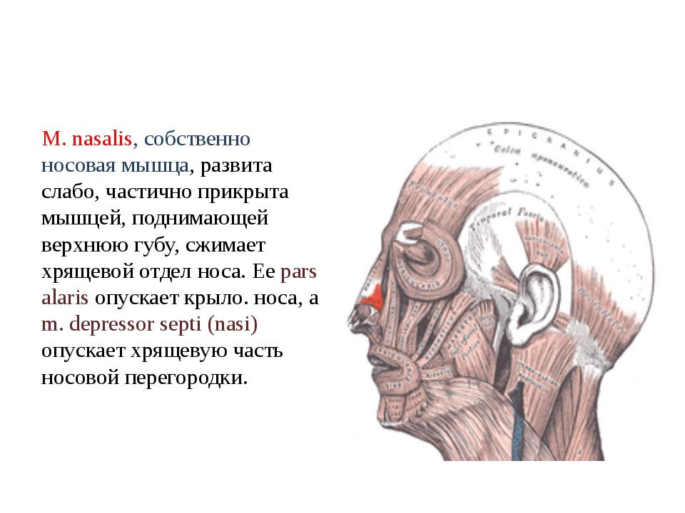 М. nasalis, собственно носовая мышца, развита слабо, частично прикрыта мышцей...