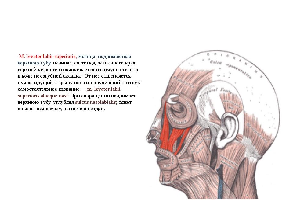 М. levator labii superioris, мышца, поднимающая верхнюю губу, начинается от...
