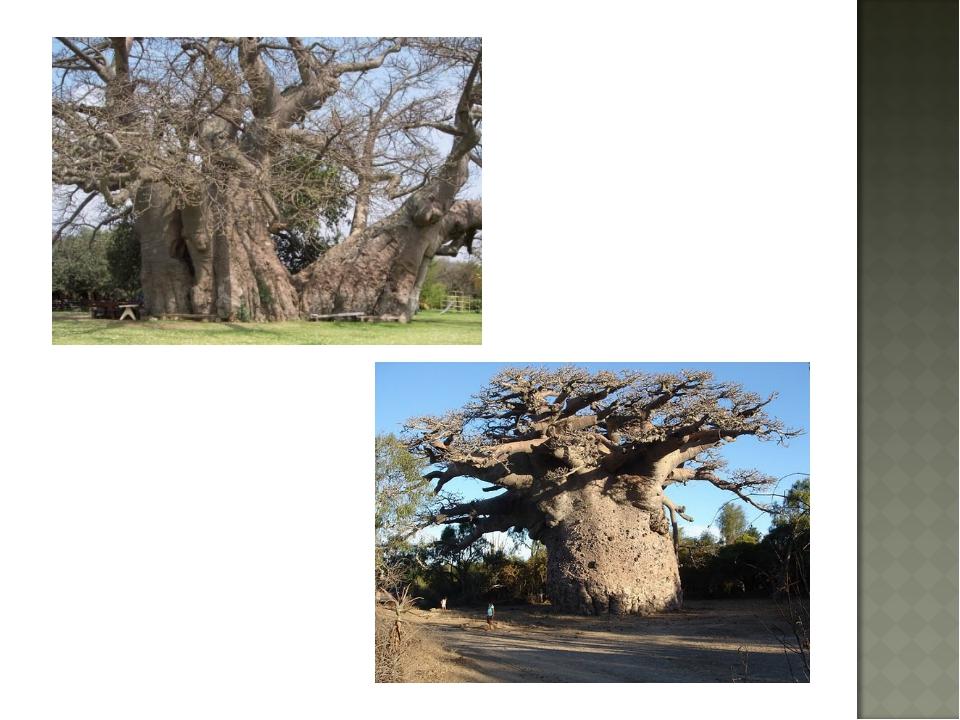 Урок изо 2 класс деревья долгожители фото