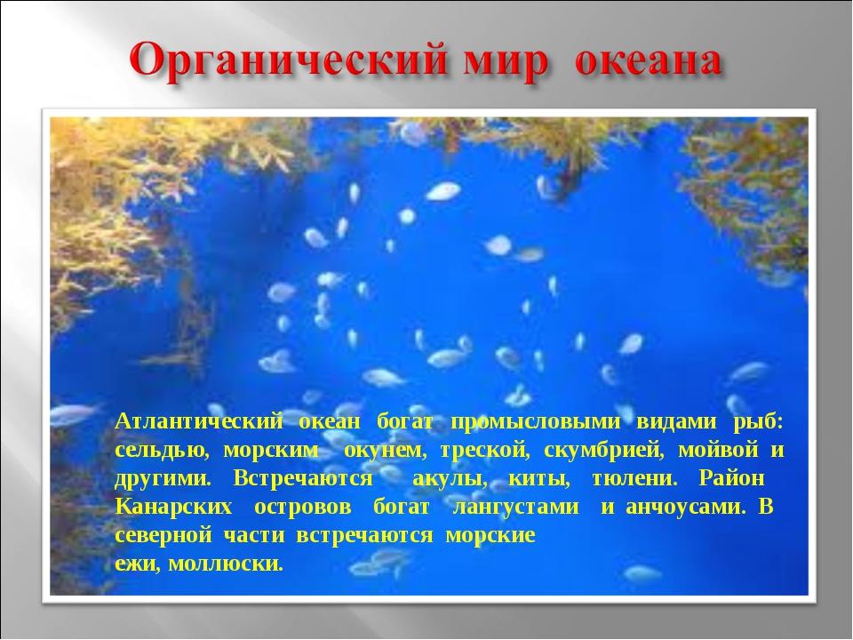 Атлантический океан богат промысловыми видами рыб: сельдью, морским окунем, т...