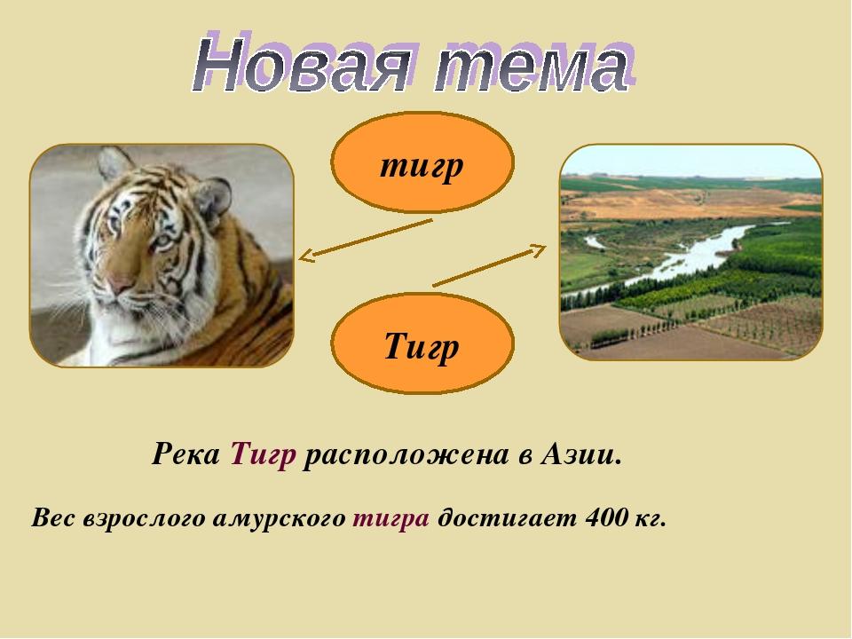 тигр Тигр Река Тигр расположена в Азии. Вес взрослого амурского тигра достига...