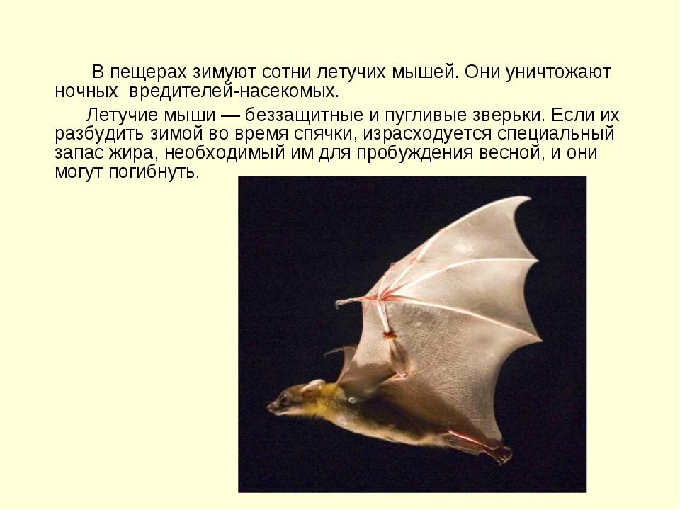 В пещерах зимуют сотни летучих мышей. Они уничтожают ночных вредителей-насек...