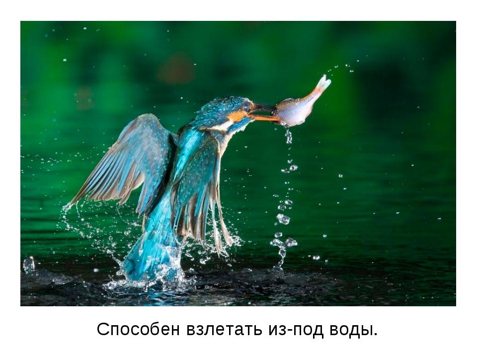 Способен взлетать из-под воды.