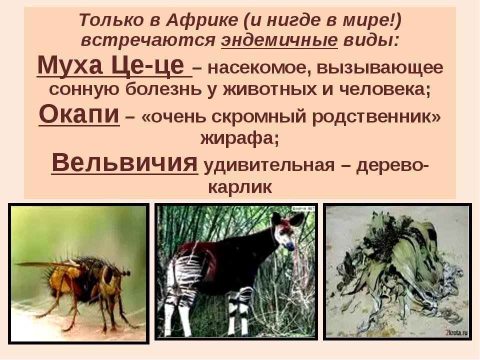 Только в Африке (и нигде в мире!) встречаются эндемичные виды: Муха Це-це – н...