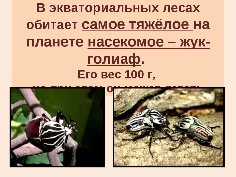 В экваториальных лесах обитает самое тяжёлое на планете насекомое – жук-голиа...