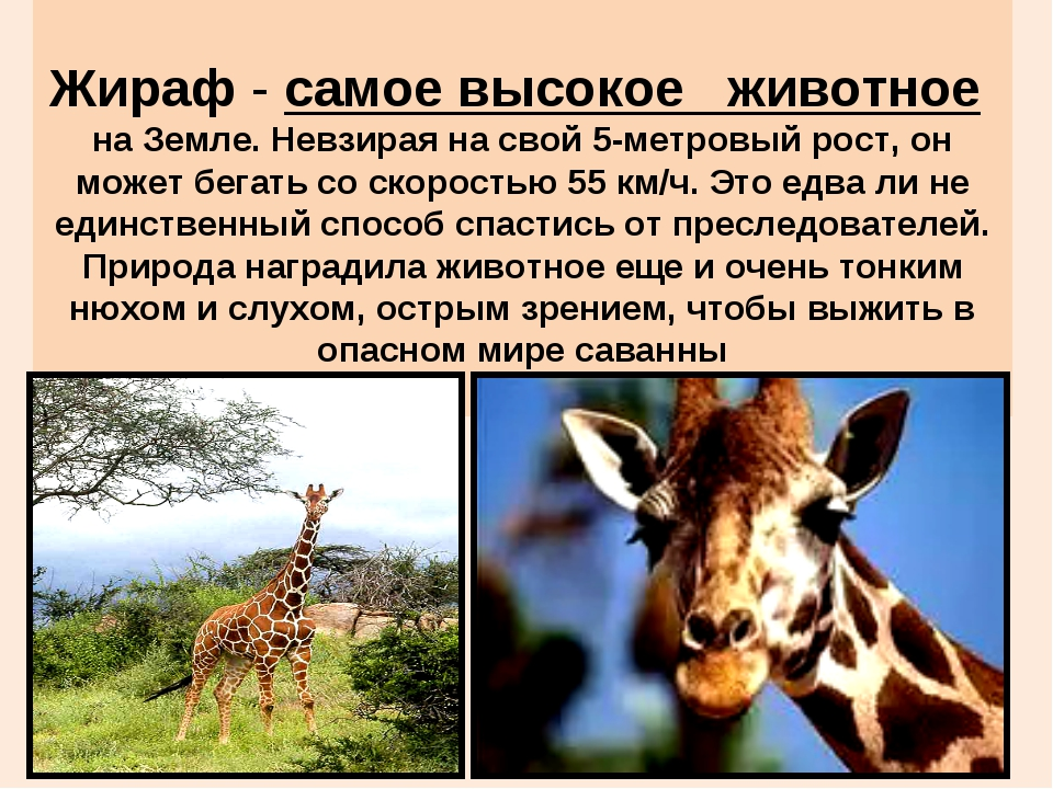 Жираф - самое высокое животное на Земле. Невзирая на свой 5-метровый рост, о...