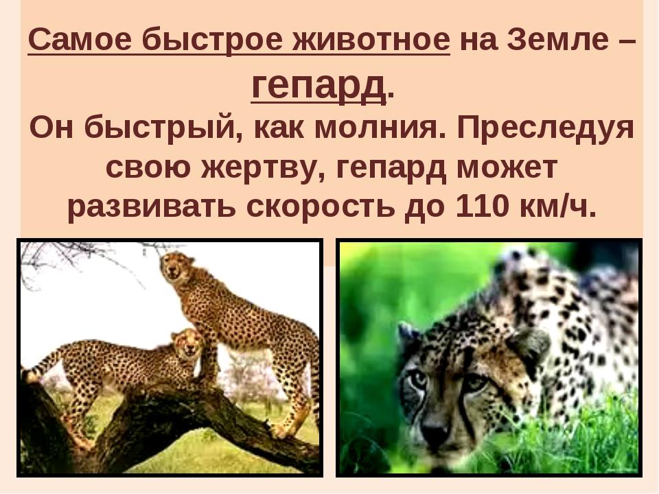 Самое быстрое животное на Земле – гепард. Он быстрый, как молния. Преследуя...