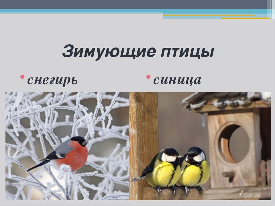 Зимующие птицы снегирь синица