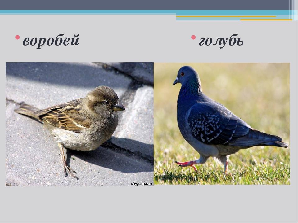 воробей голубь