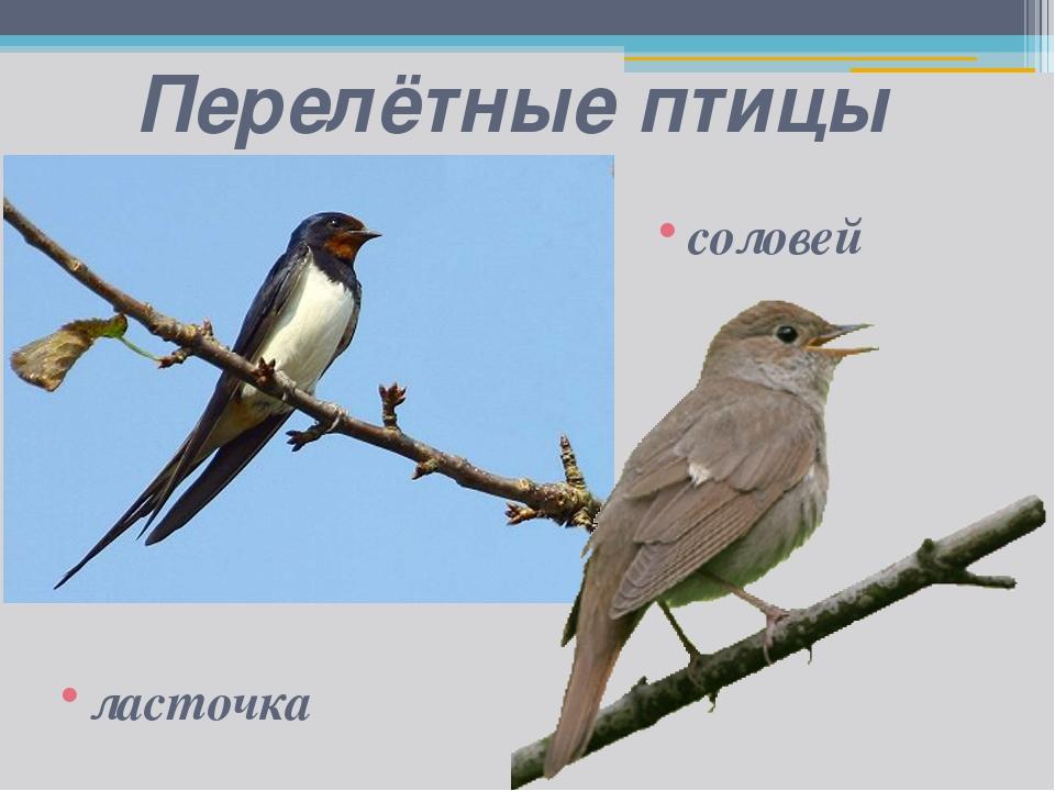 Перелётные птицы ласточка соловей