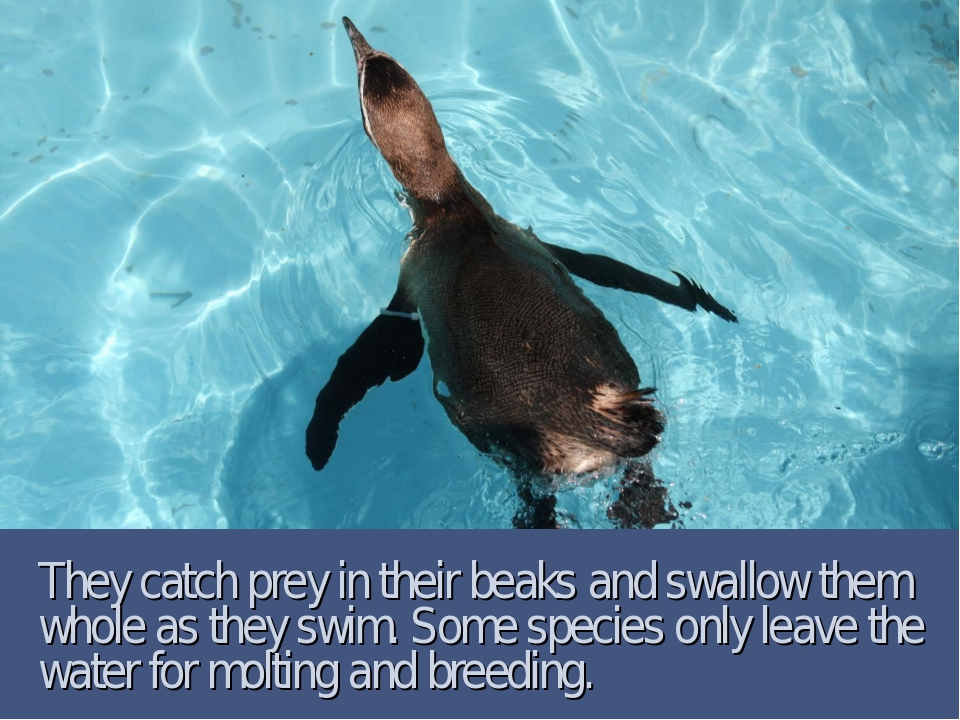 They catch prey in their beaks and swallow them whole as they swim. Some spec...