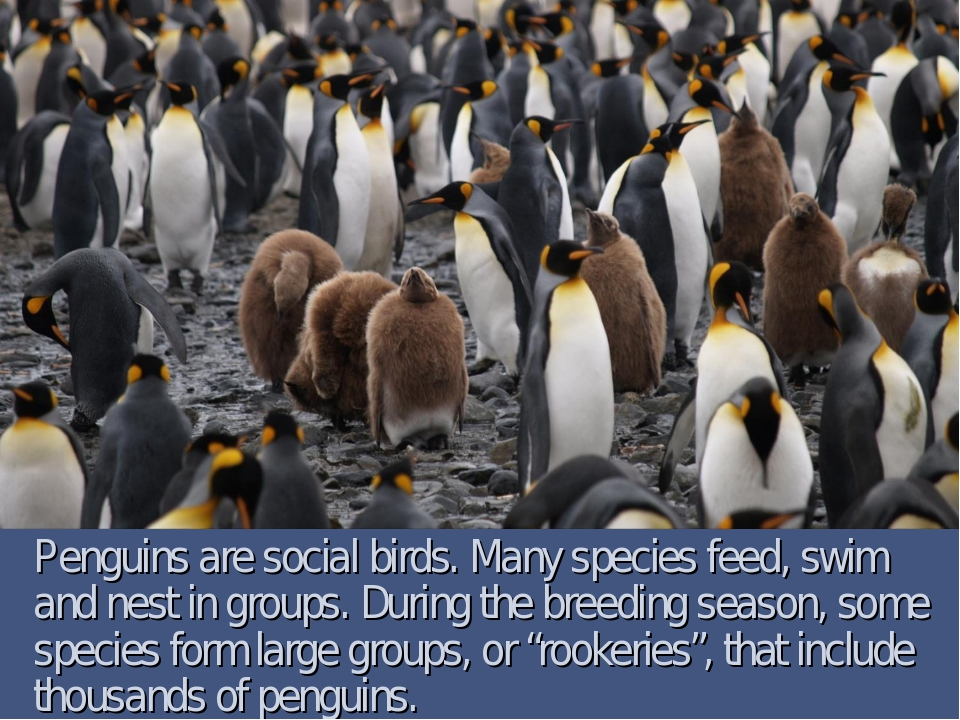 Penguins are social birds. Many species feed, swim and nest in groups. During...