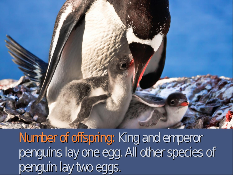 Number of offspring: King and emperor penguins lay one egg. All other species...