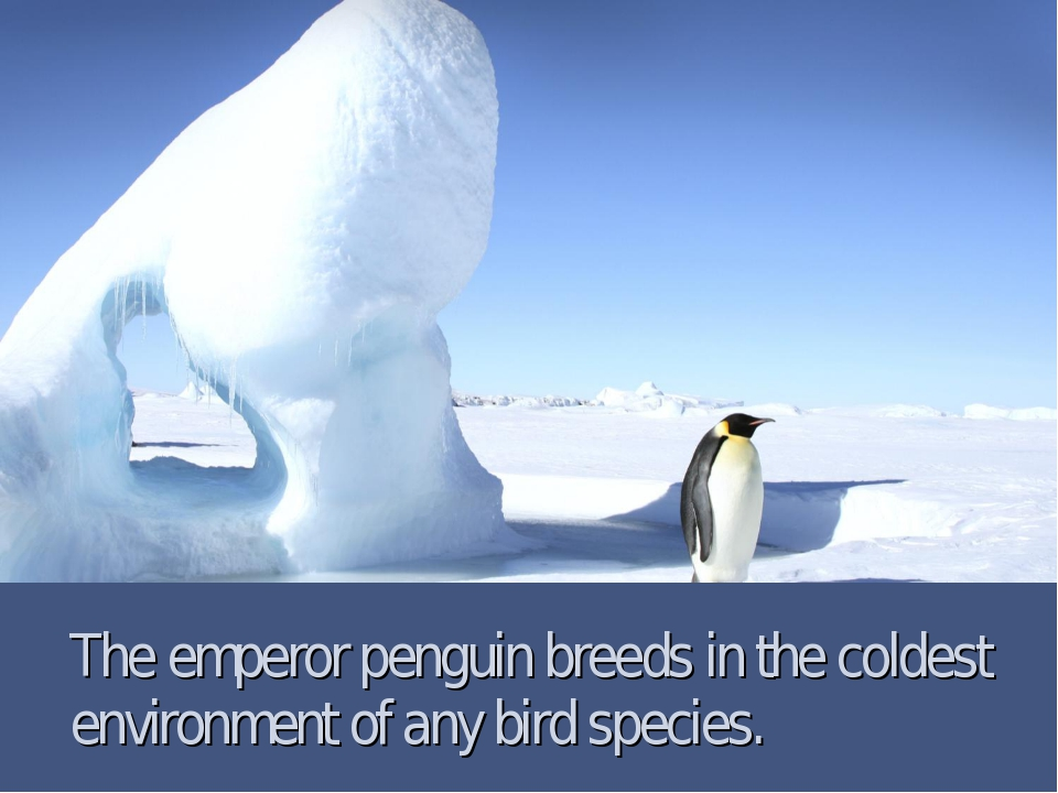 The emperor penguin breeds in the coldest environment of any bird species.