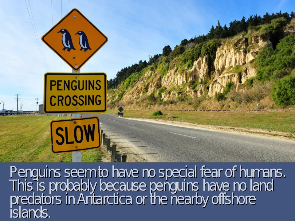 Penguins seem to have no special fear of humans. This is probably because pen...