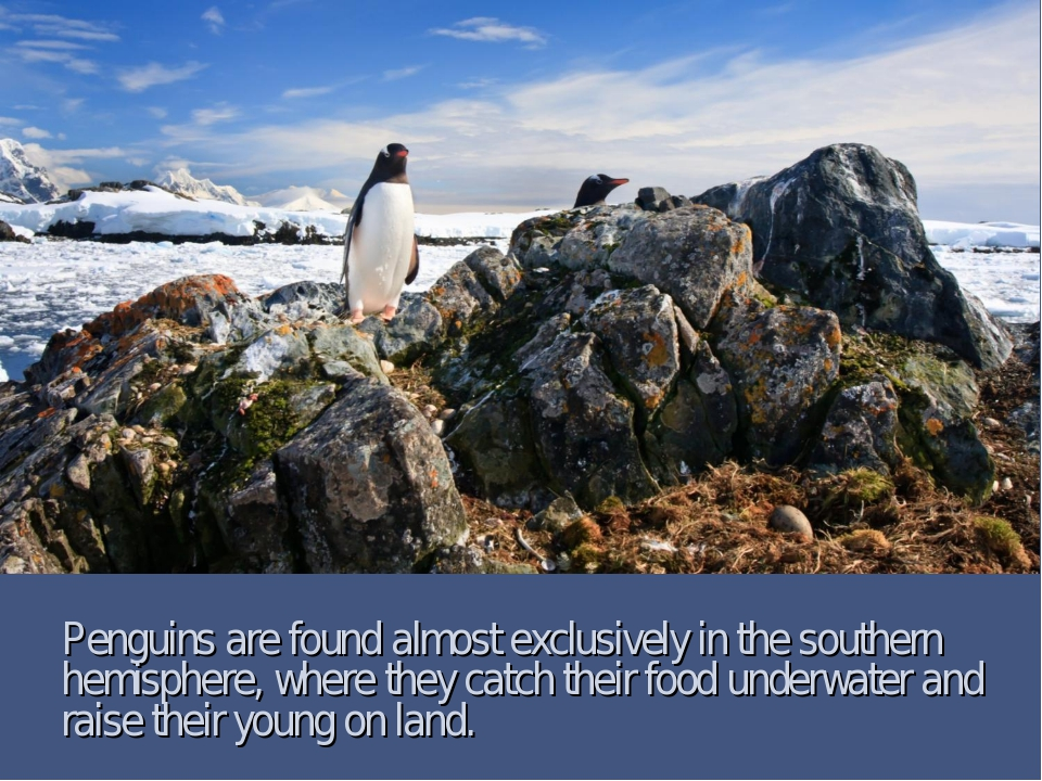 Penguins are found almost exclusively in the southern hemisphere, where they...