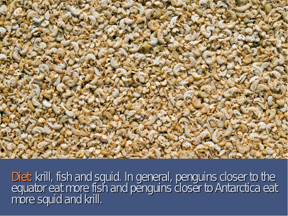 Diet: krill, fish and squid. In general, penguins closer to the equator eat m...