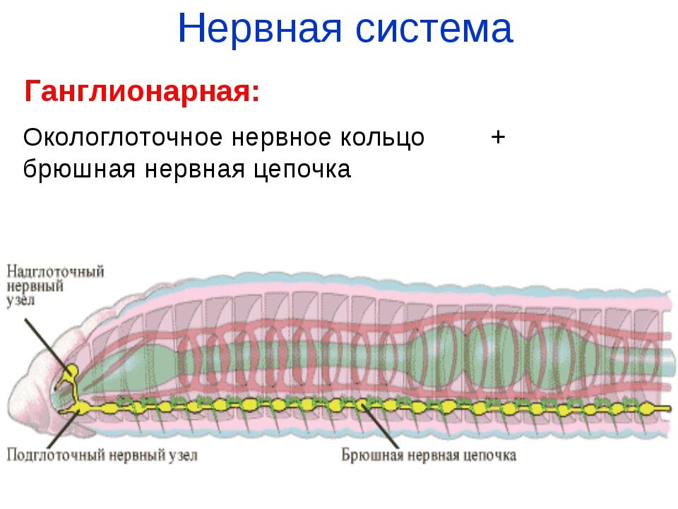 Нервная система Ганглионарная: Окологлоточное нервное кольцо + брюшная нервна...