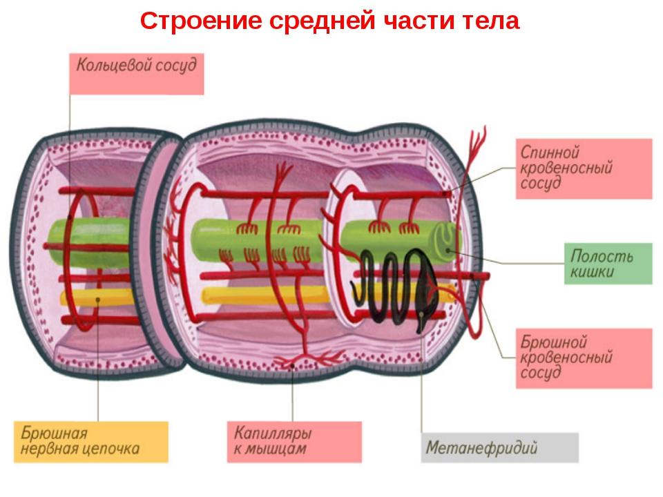 Строение средней части тела