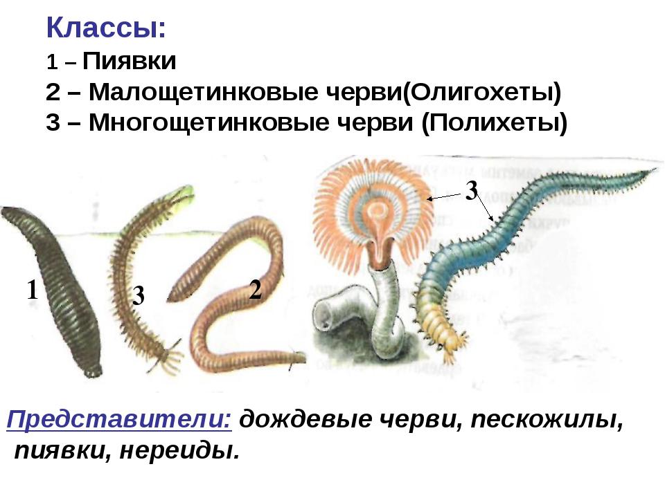 1 2 3 3 Классы: 1 – Пиявки 2 – Малощетинковые черви(Олигохеты) 3 – Многощети...