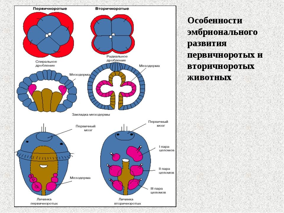 Особенности эмбрионального развития первичноротых и вторичноротых животных