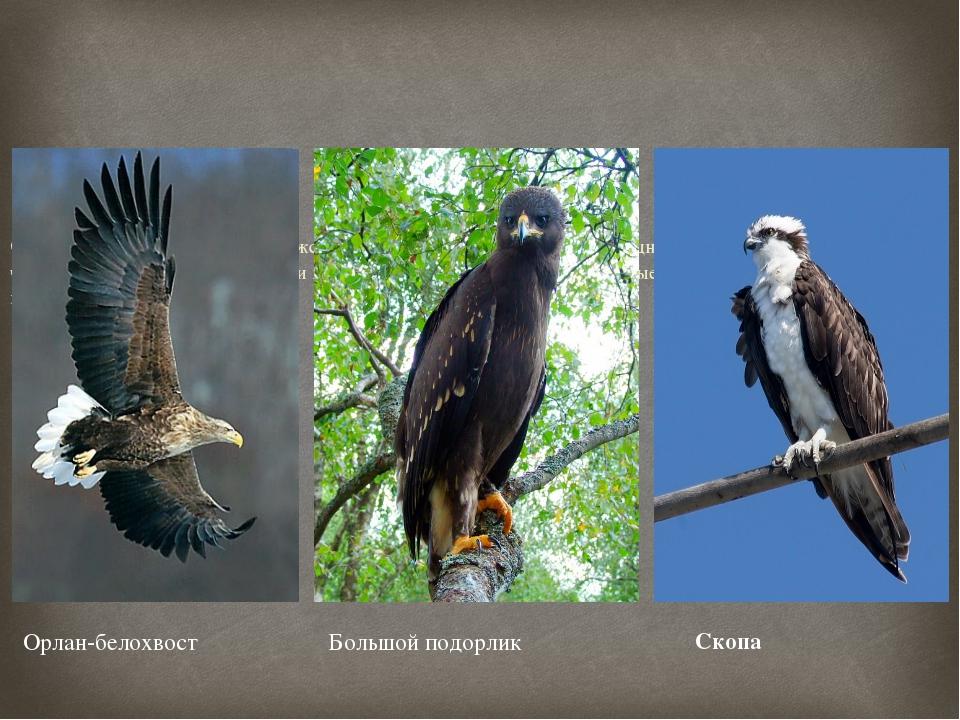 Около 80% фауны птиц Воронежской области представлено в заповеднике. Из них...