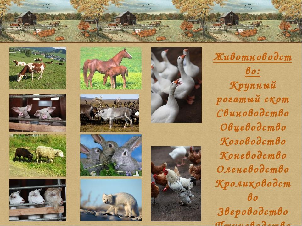 Животноводство: Крупный рогатый скот Свиноводство Овцеводство Козоводство Кон...