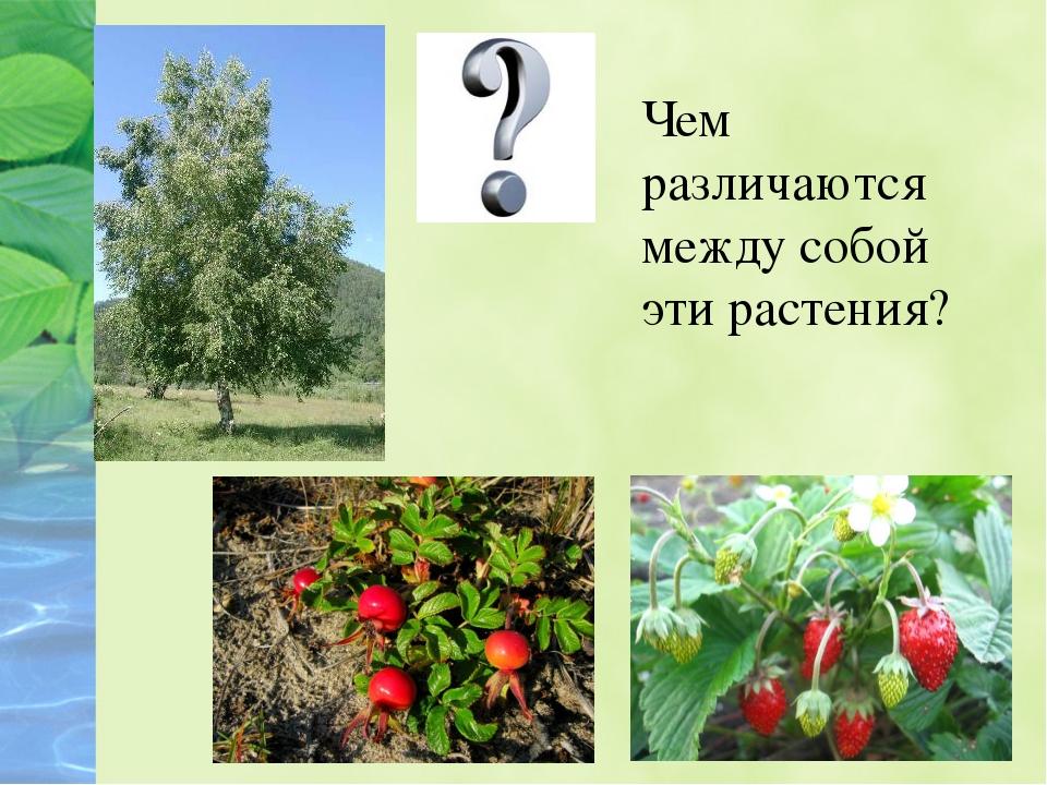 Чем различаются между собой эти растения?