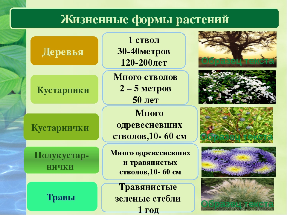 Царство растений Жизненные формы растений Деревья Кустарники Кустарнички Трав...
