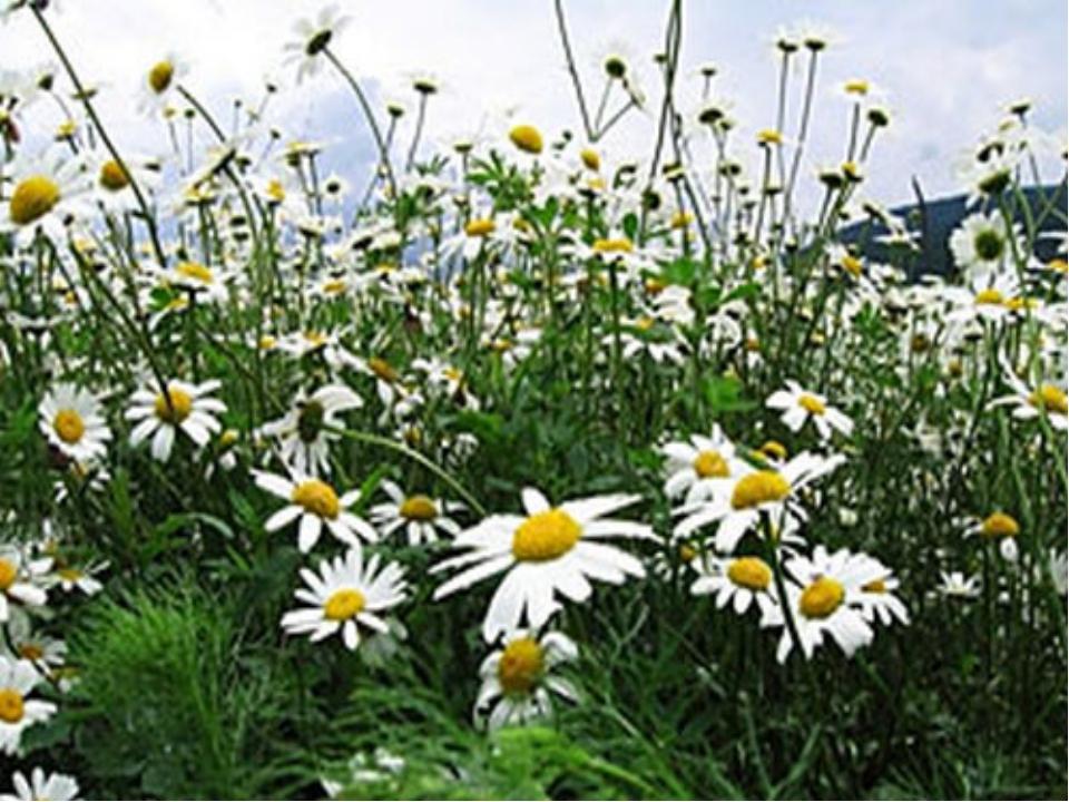 Травы - растение, не образующее одревесневающих стеблей жизненная форма расте...