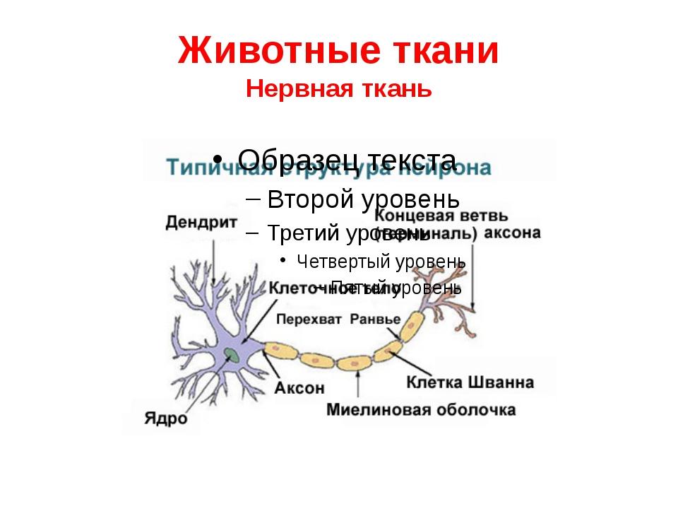 Животные ткани Нервная ткань