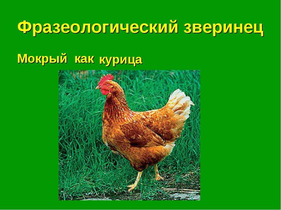 Фразеологический зверинец Мокрый как . . . курица