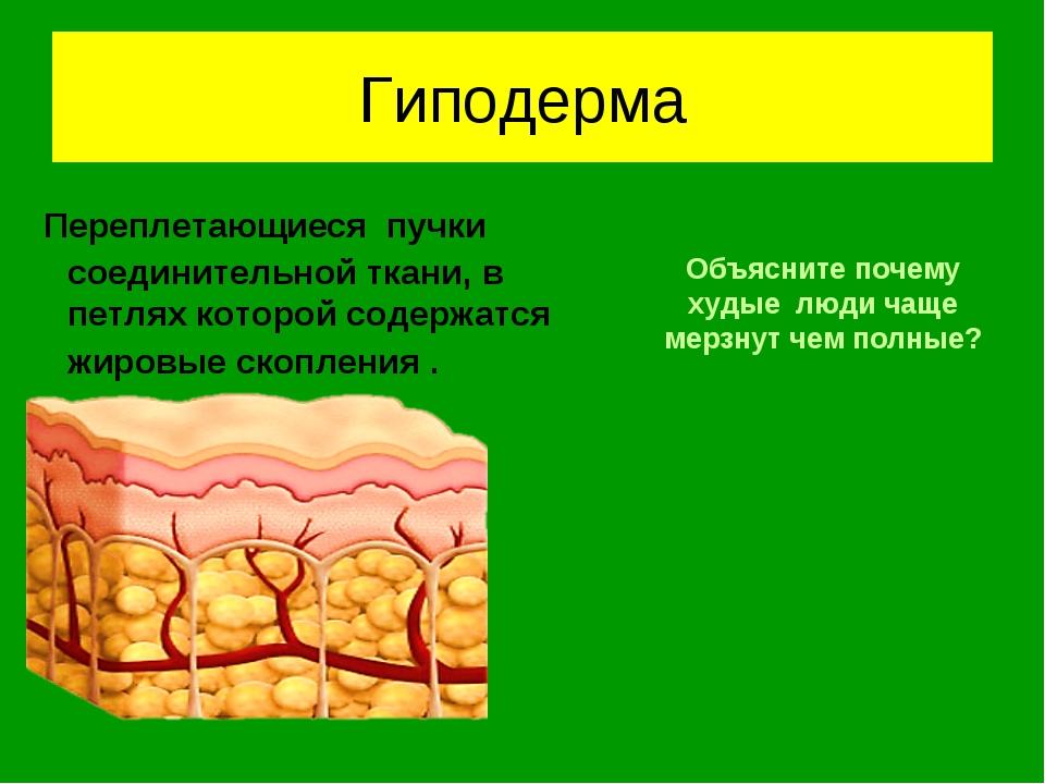 Гиподерма Переплетающиеся пучки соединительной ткани, в петлях которой содерж...