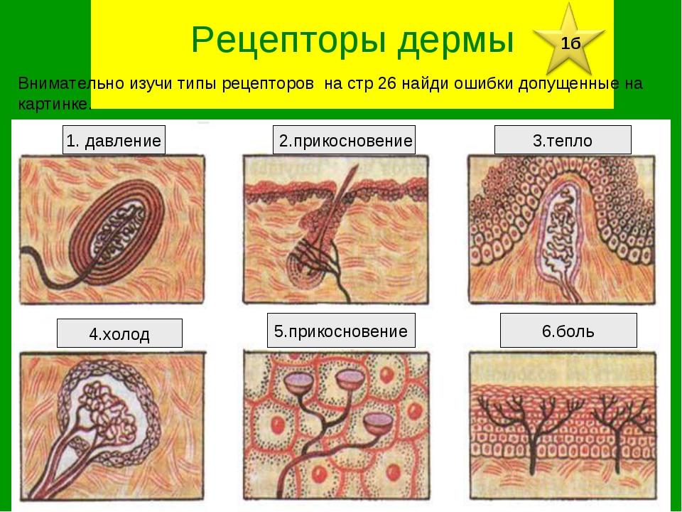 Рецепторы дермы 5.прикосновение Внимательно изучи типы рецепторов на стр 26...