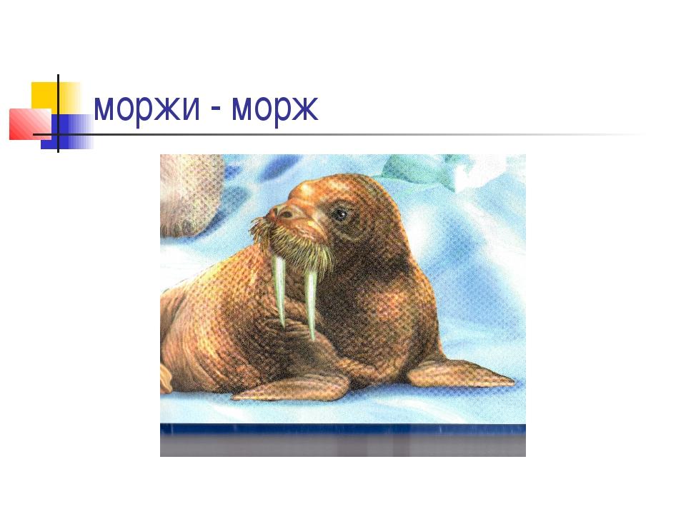 моржи - морж