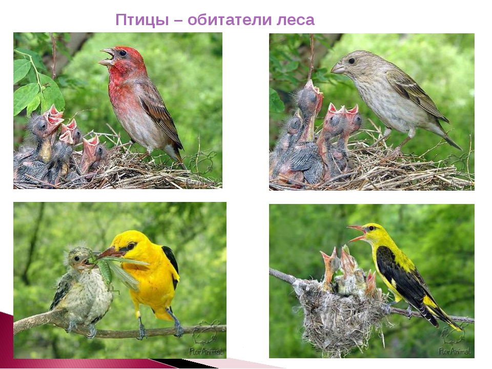 Птицы – обитатели леса