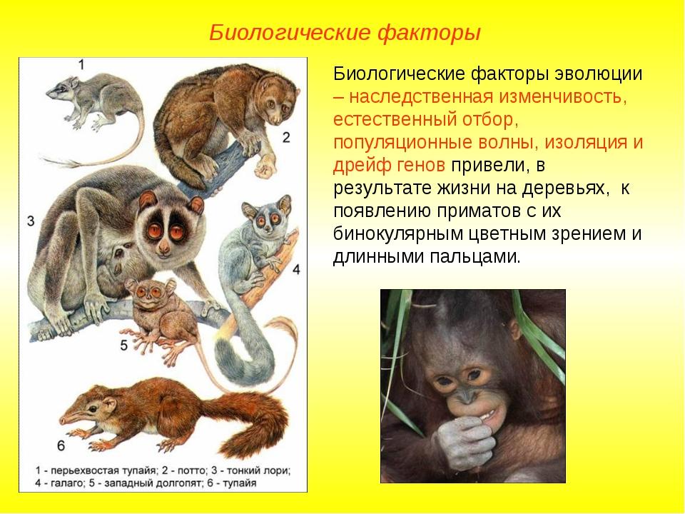 Биологические факторы Биологические факторы эволюции – наследственная изменчи...