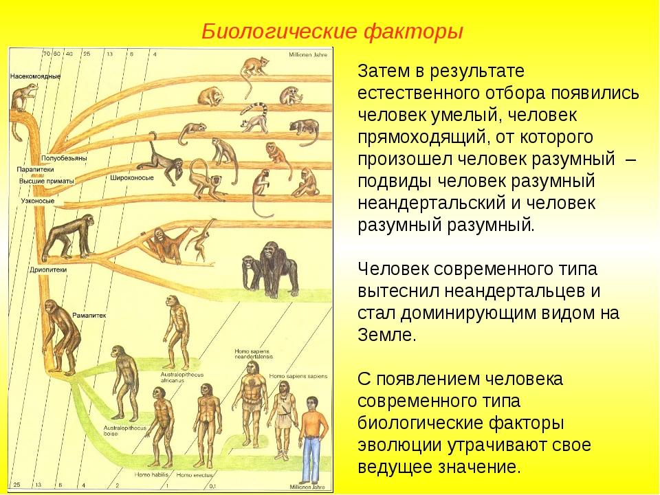 Затем в результате естественного отбора появились человек умелый, человек пря...