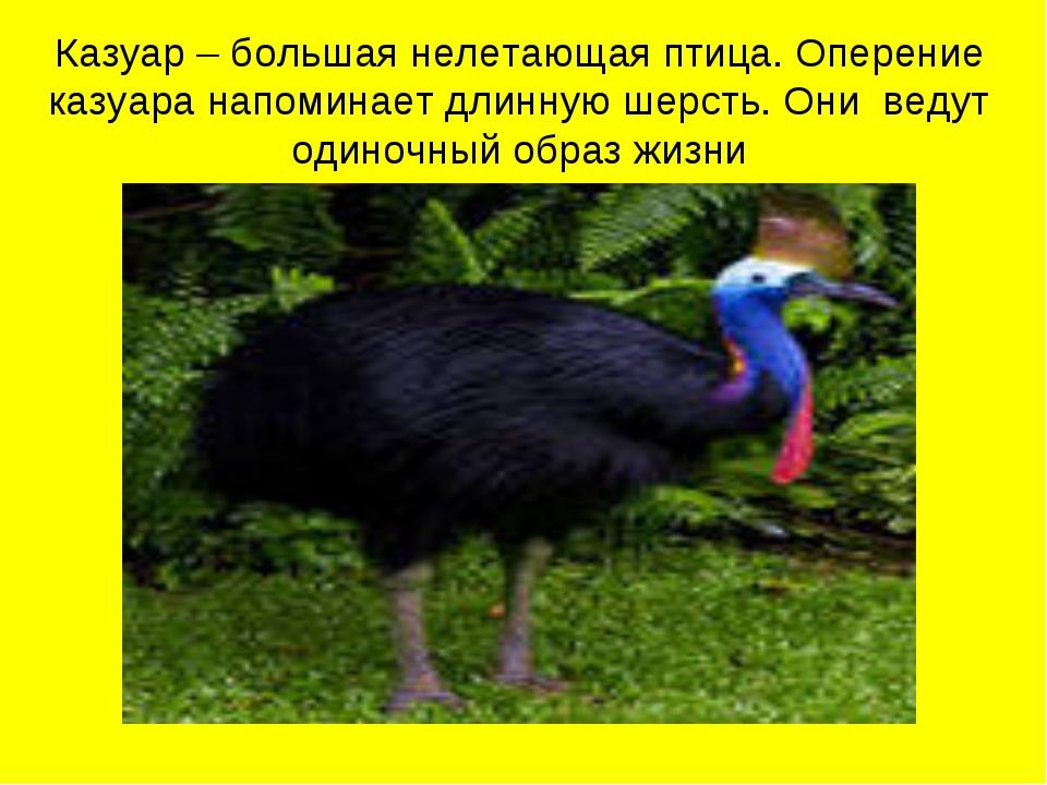 Казуар – большая нелетающая птица. Оперение казуара напоминает длинную шерсть...
